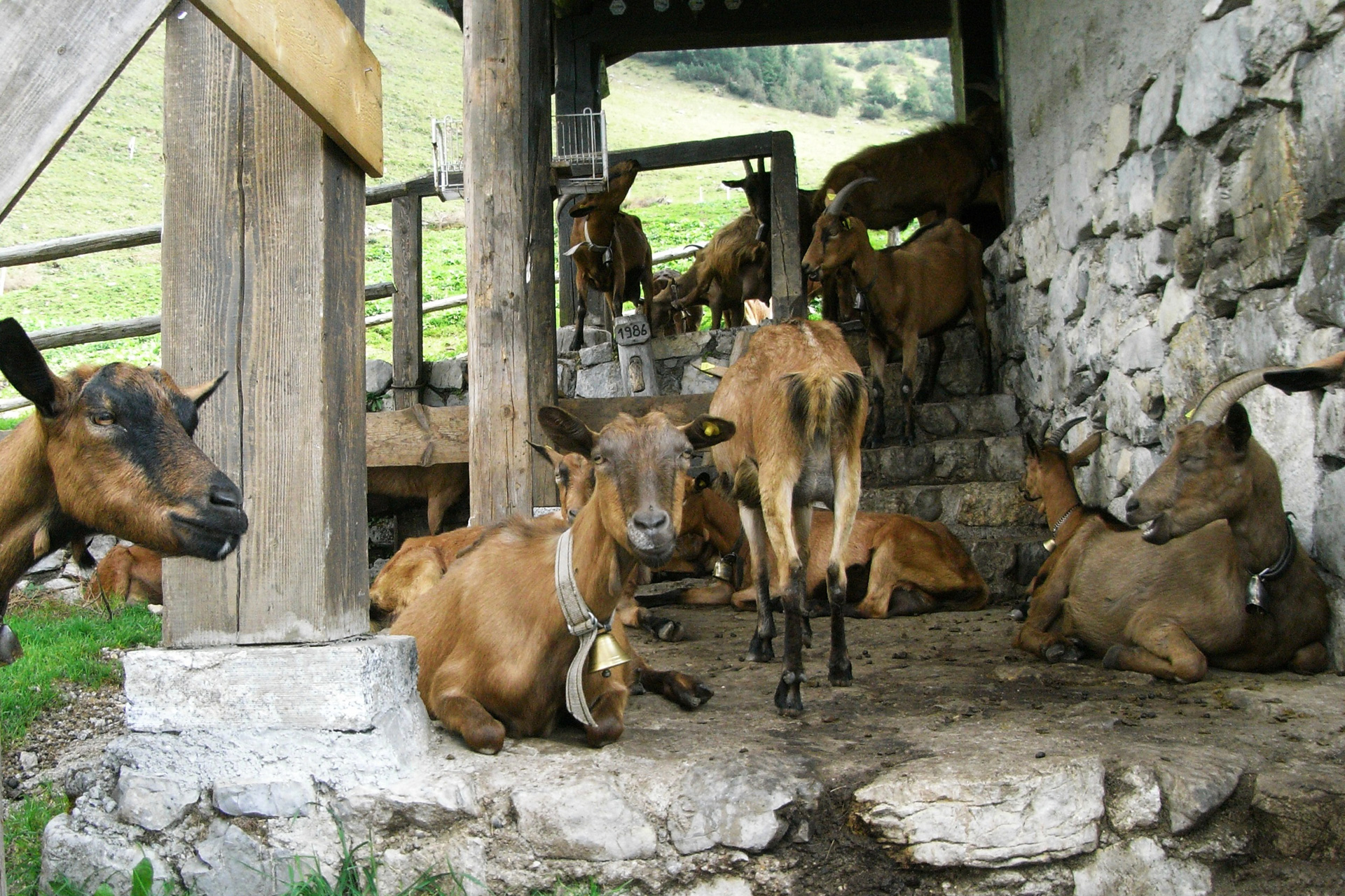 Ziegen, Alpen