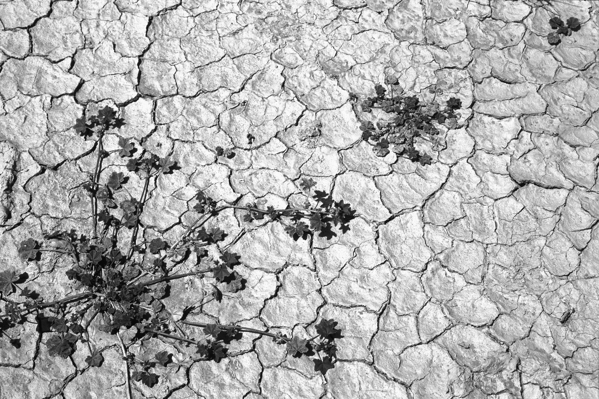 Pflanze in Wüste, Marokko